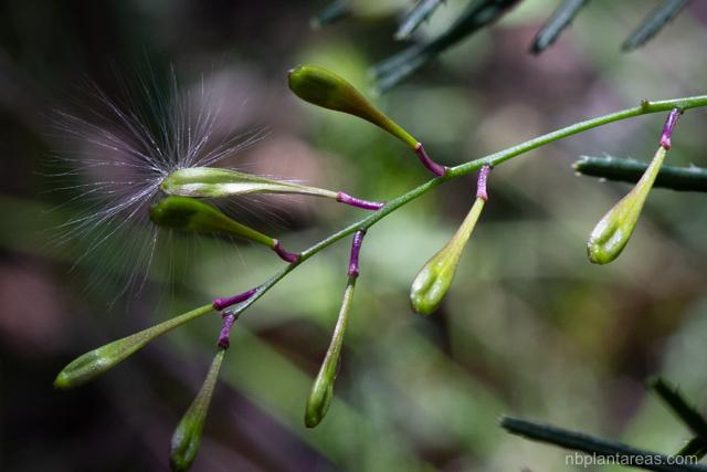 Comesperma volubile