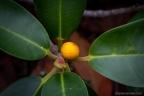 Ficus rubignosa
