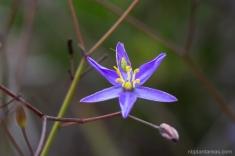Thelionema caespitosum