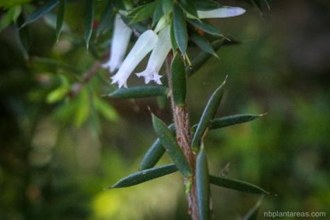 Leucopogon juniperinus