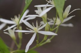 Clematis glycinoides