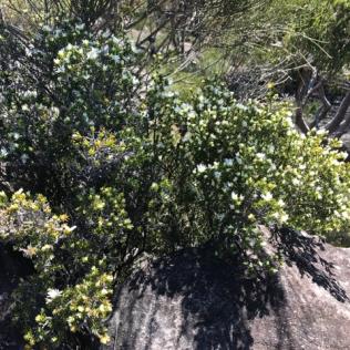 Pseudanthus pimeleoides